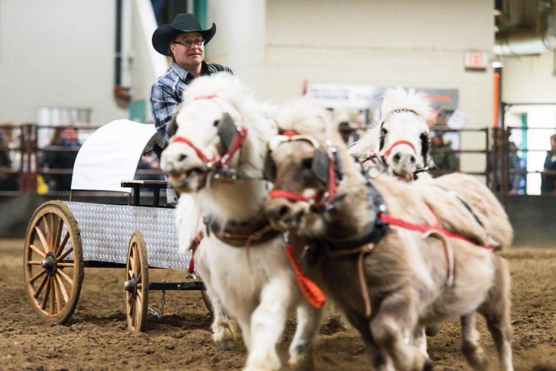 Miniature Chuckwagon Races Manitoba Stampede